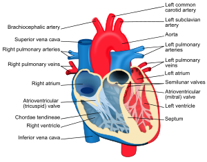 Annotated drawing heart. Cardiac cycle wikivisually valve