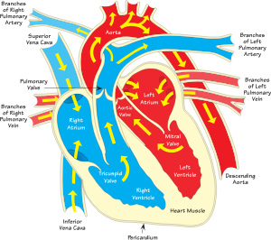 Annotated drawing heart. Structure png dlpng diagram