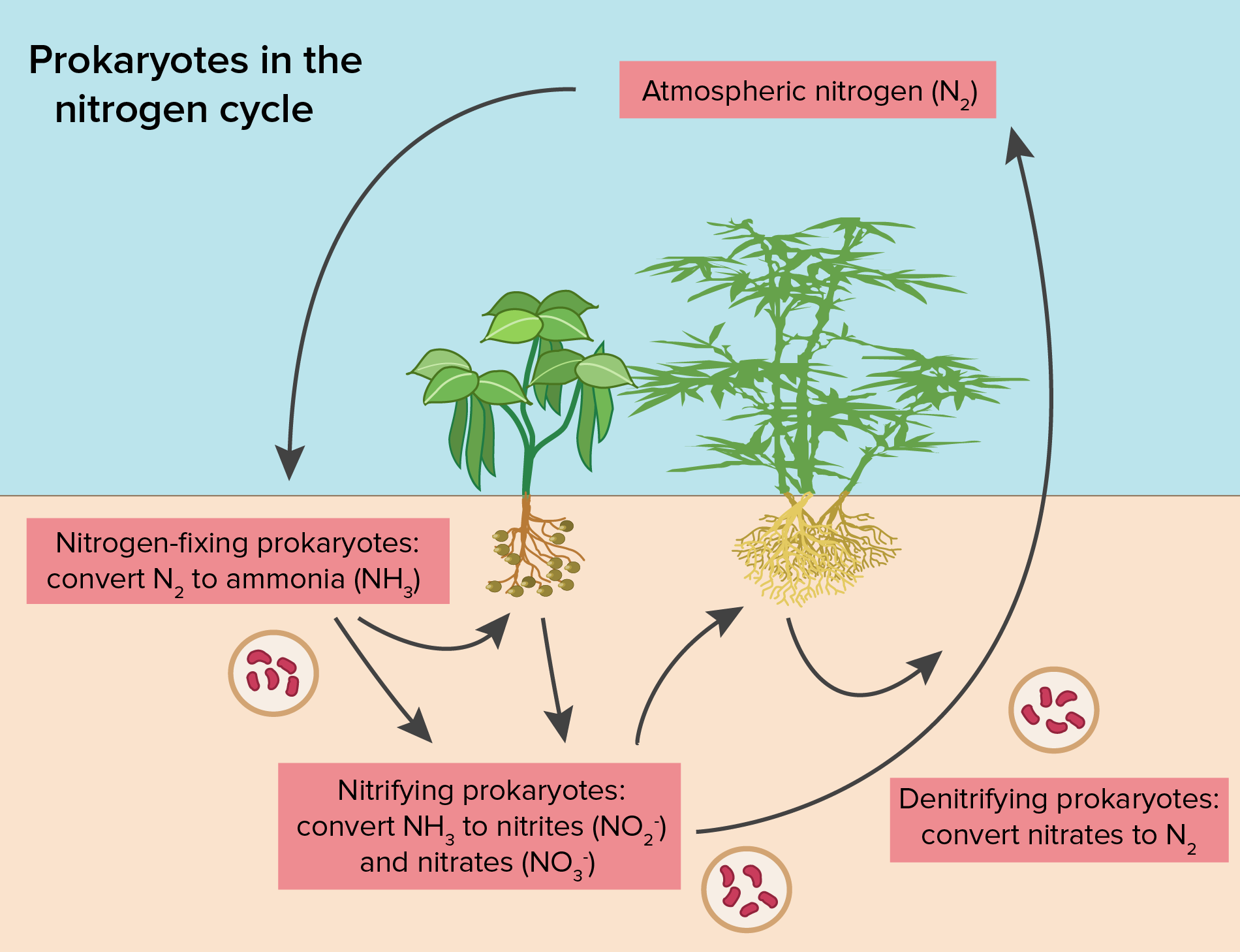 Annotated drawing nitrogen cycle. The carbon article ecology