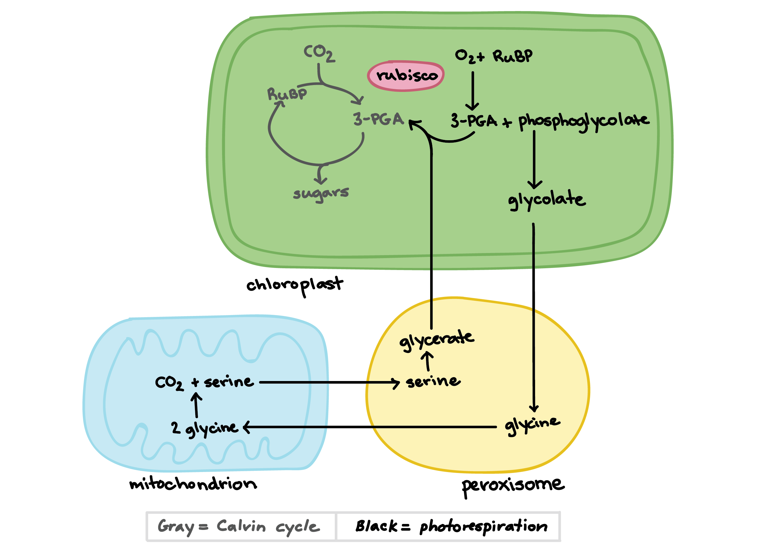 Annotated drawing photosynthesis diagram. C video khan academy