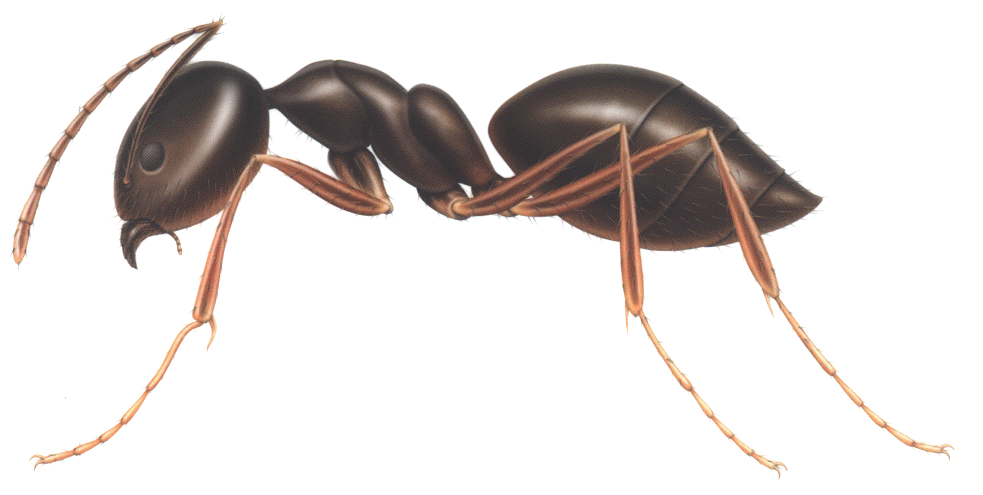 transparent ant vector png