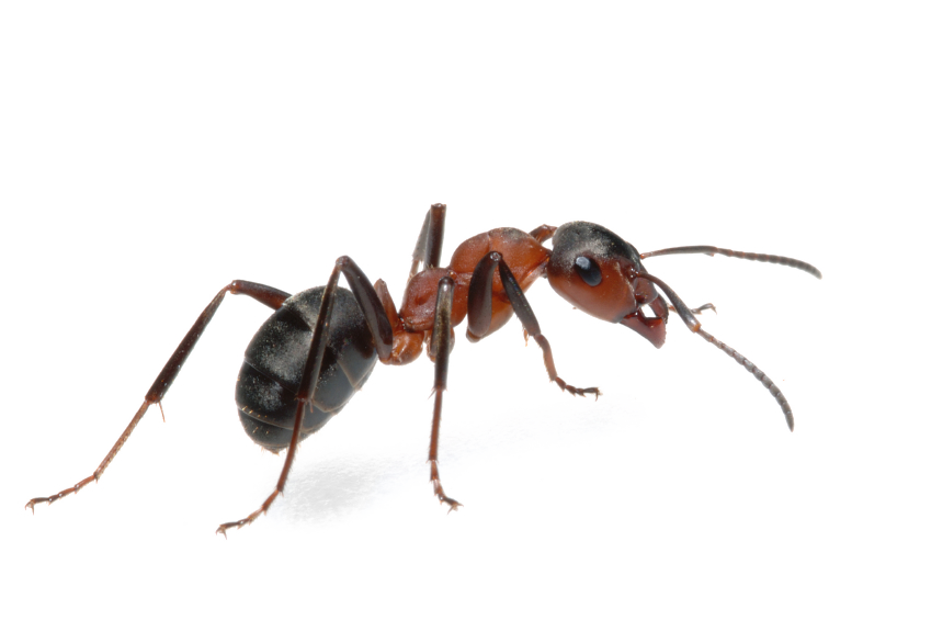 Fire ant png