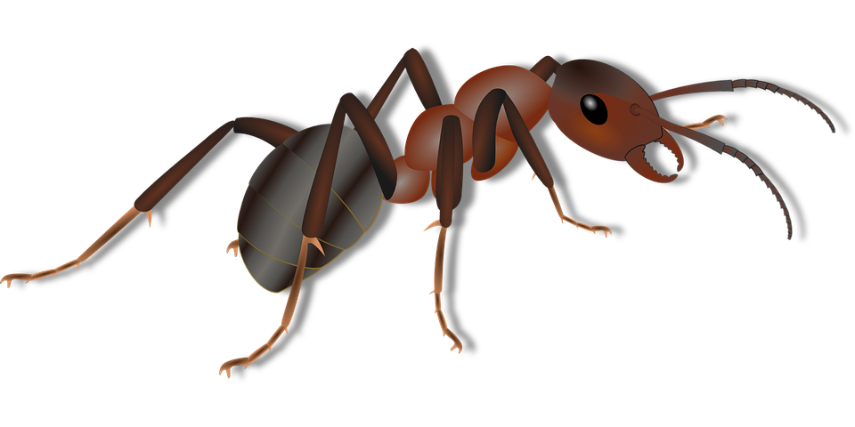 Ant png images. Ants free download