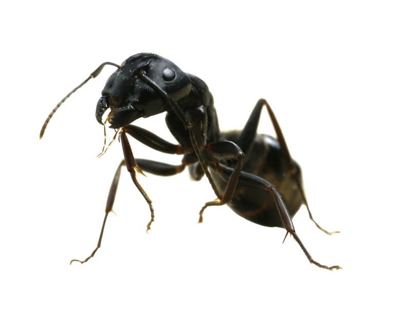 Vector ant side view. Download free png sideview