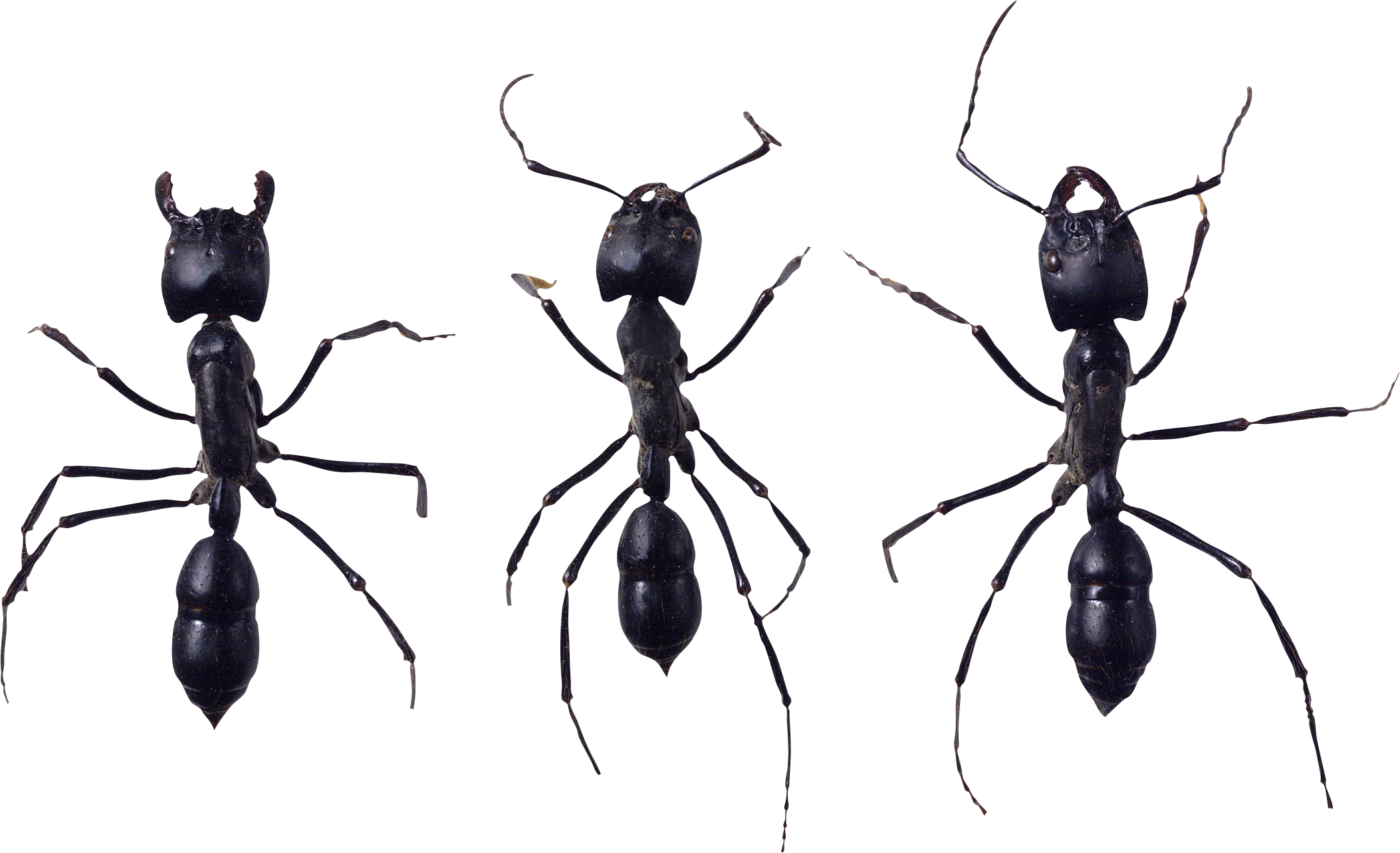 Ants vector white background. Ant png image purepng