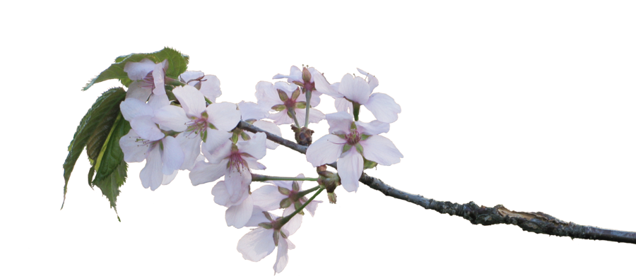 Apple blossom png. Blossoms by amalus on