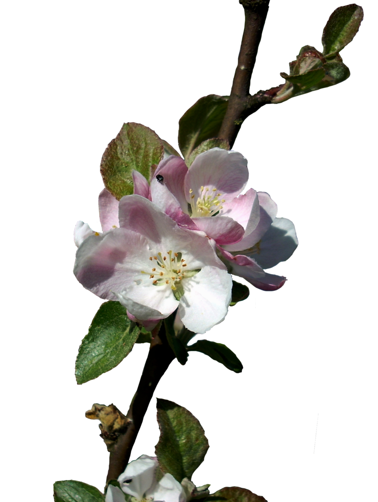 Apple blossom png. Blossoms stock isolated by