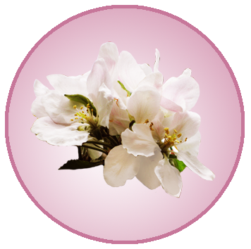 Apple blossom png. Spring clipart flower pictures