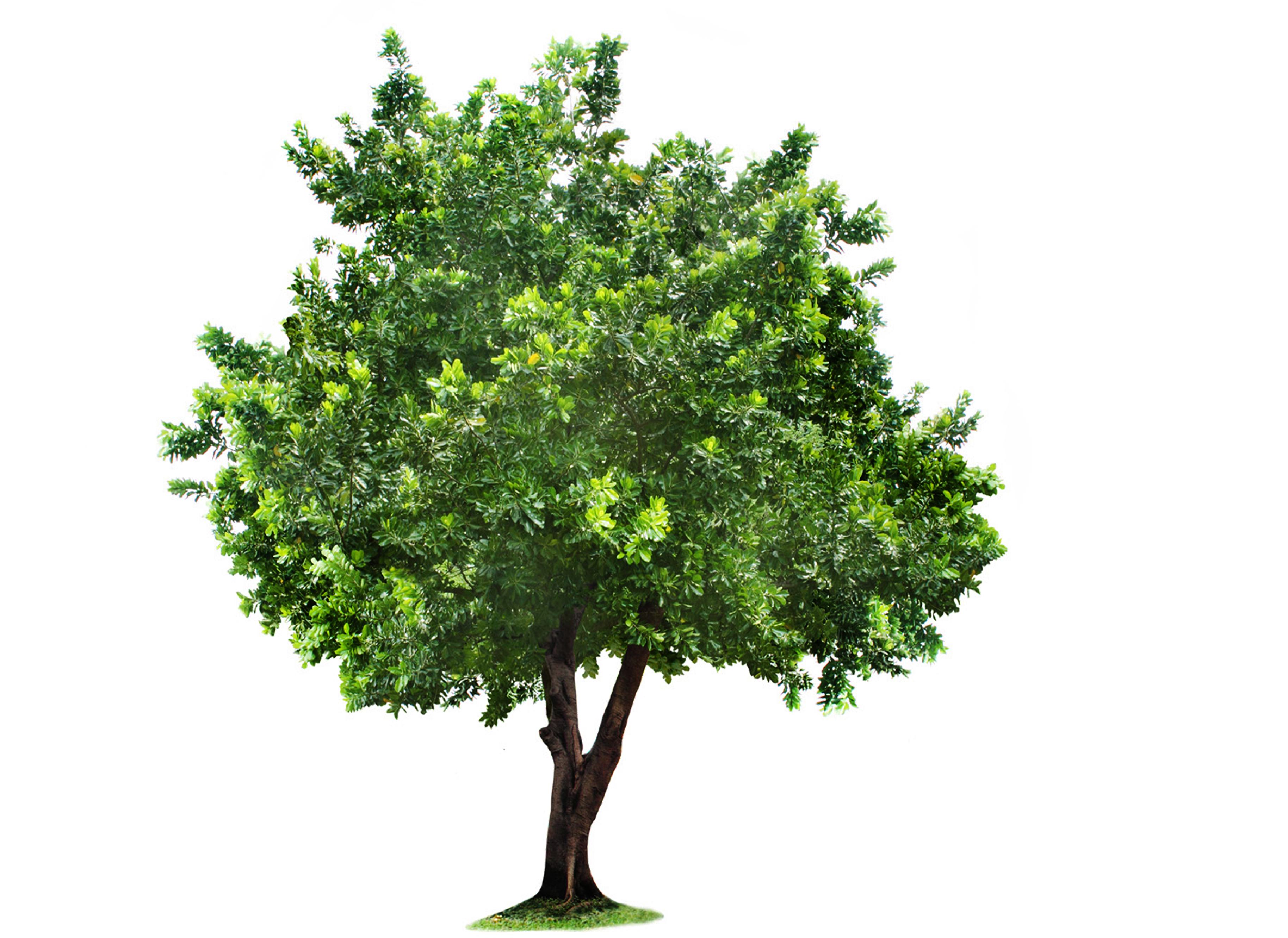 Apple tree png. Bare transparent images pluspng