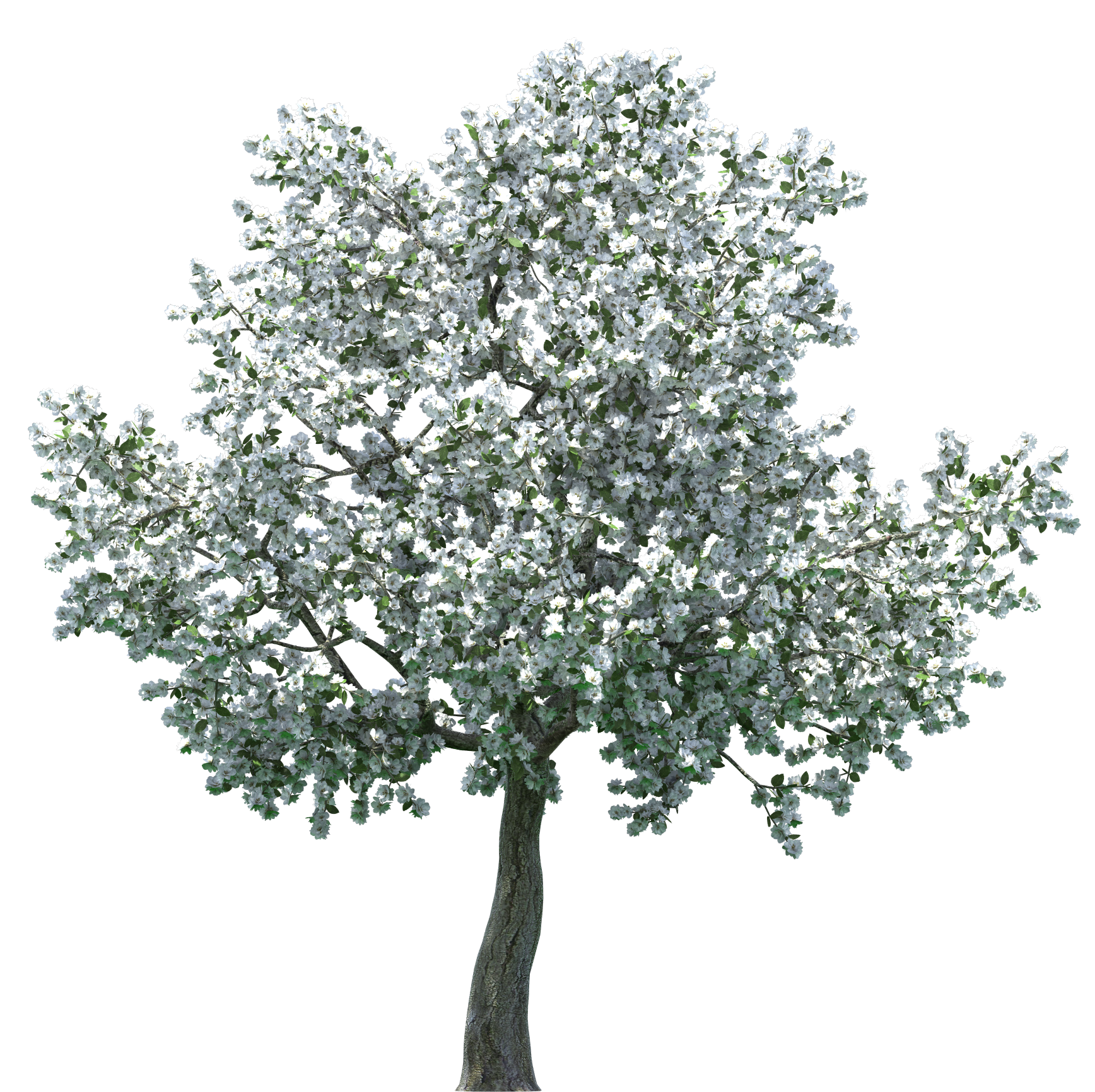 Apple tree png. Realistic blossom clip art