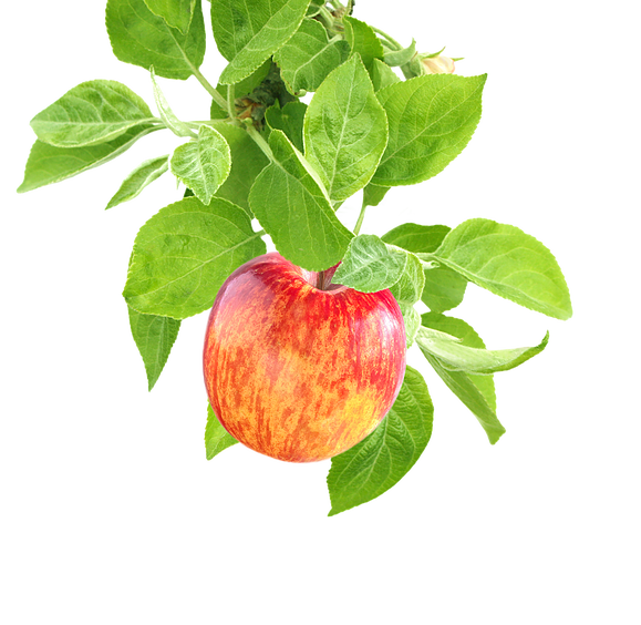 apples on a branch png