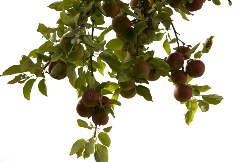 Apple tree png. By cindysart stock on