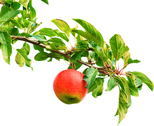 Apples on a branch png. Tassie tiger brewing company