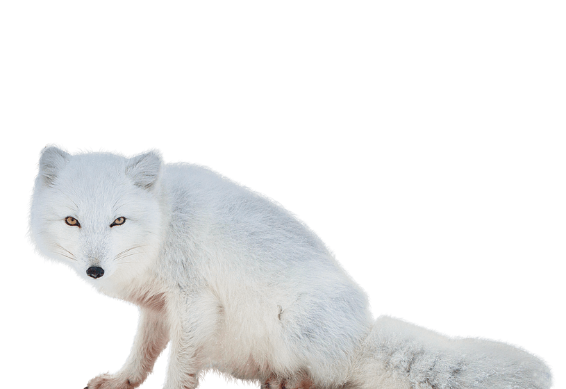 White fox png