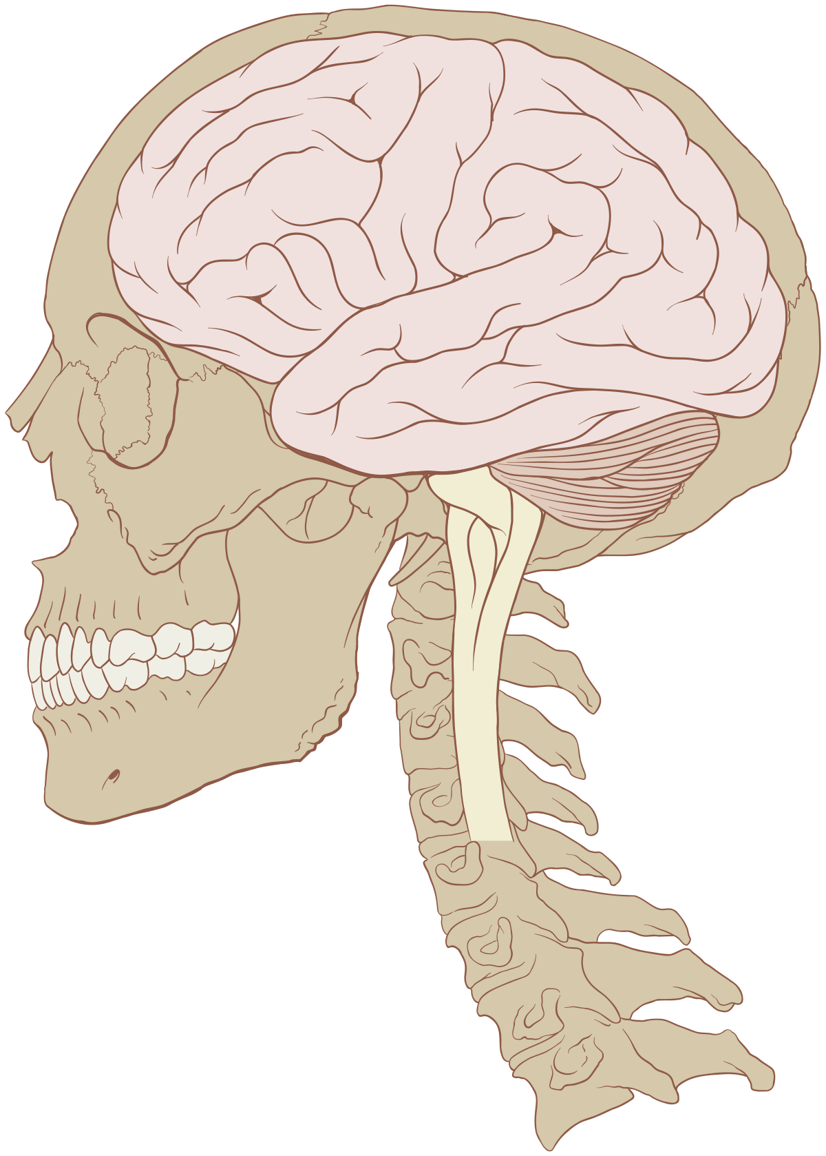 Human wikipedia . Drawing injuries traumatic brain banner royalty free library