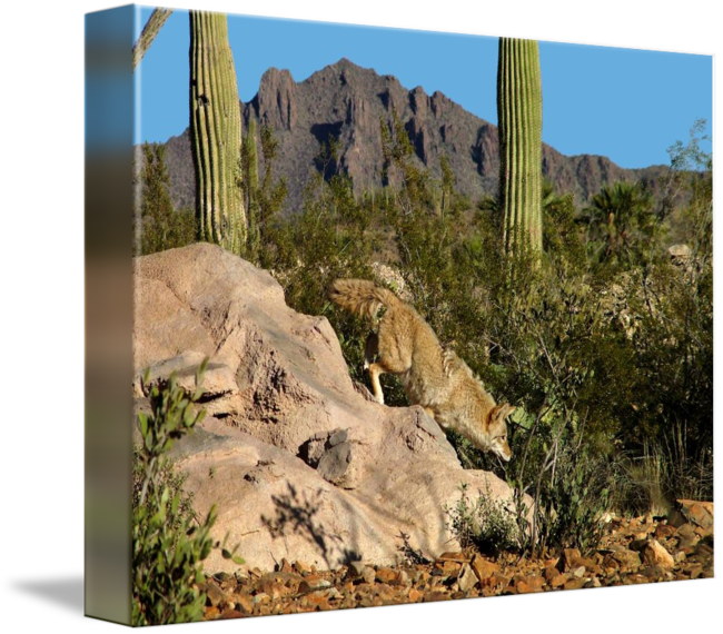 Arizona desert png. Coyote sonoran by mike