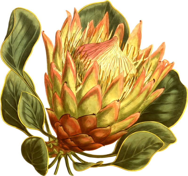 Armature drawing protea. Artichoke fynbos king curtis