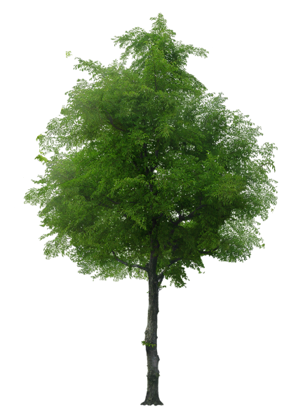 honey locust png