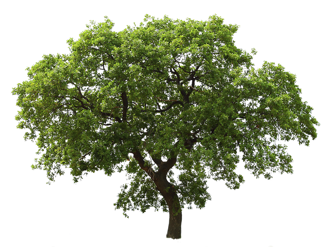 Oak tree png. Images for architecture