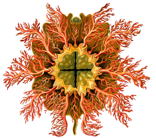 Drawing the nature. Art sci ernst haeckel