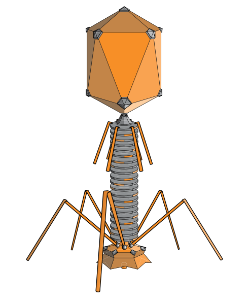 As vector lambda phage. Definition the is a