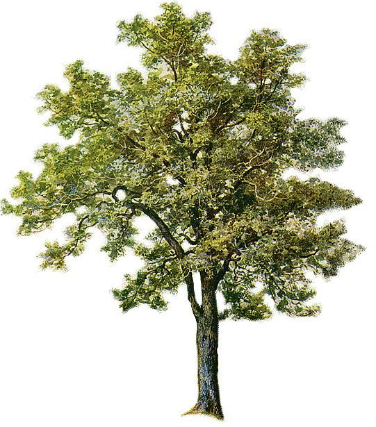 Ash clipart. Tree pinterest and like