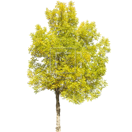 Aspen tree png. Green yellow parent category