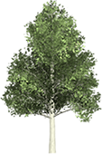 Aspen tree png. Free clipart animated gifs