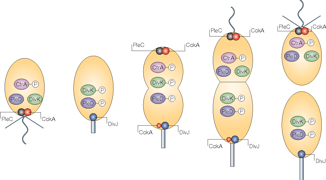 Asymmetric banana. Figure from cell cycle