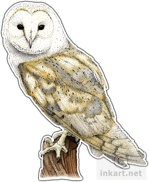 Australian drawing barn owl. Wildlife art birds of