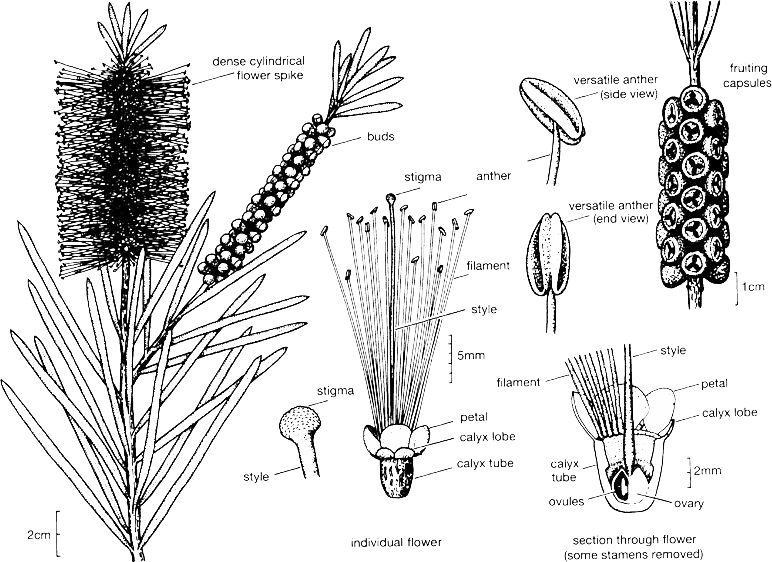 Australian drawing bush. Bottlebrush callistemon plant information