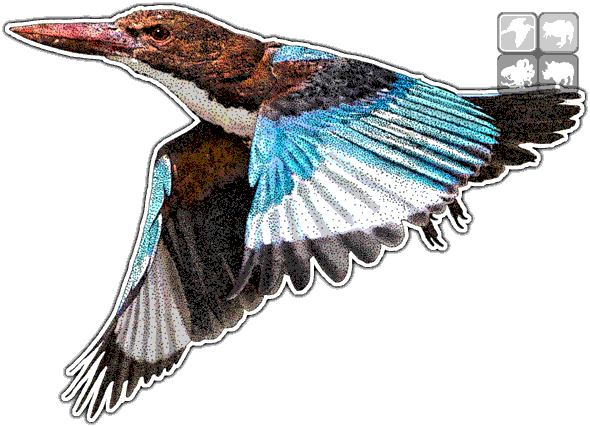 Function drawing kingfisher. White throated halcyon smyrnensis