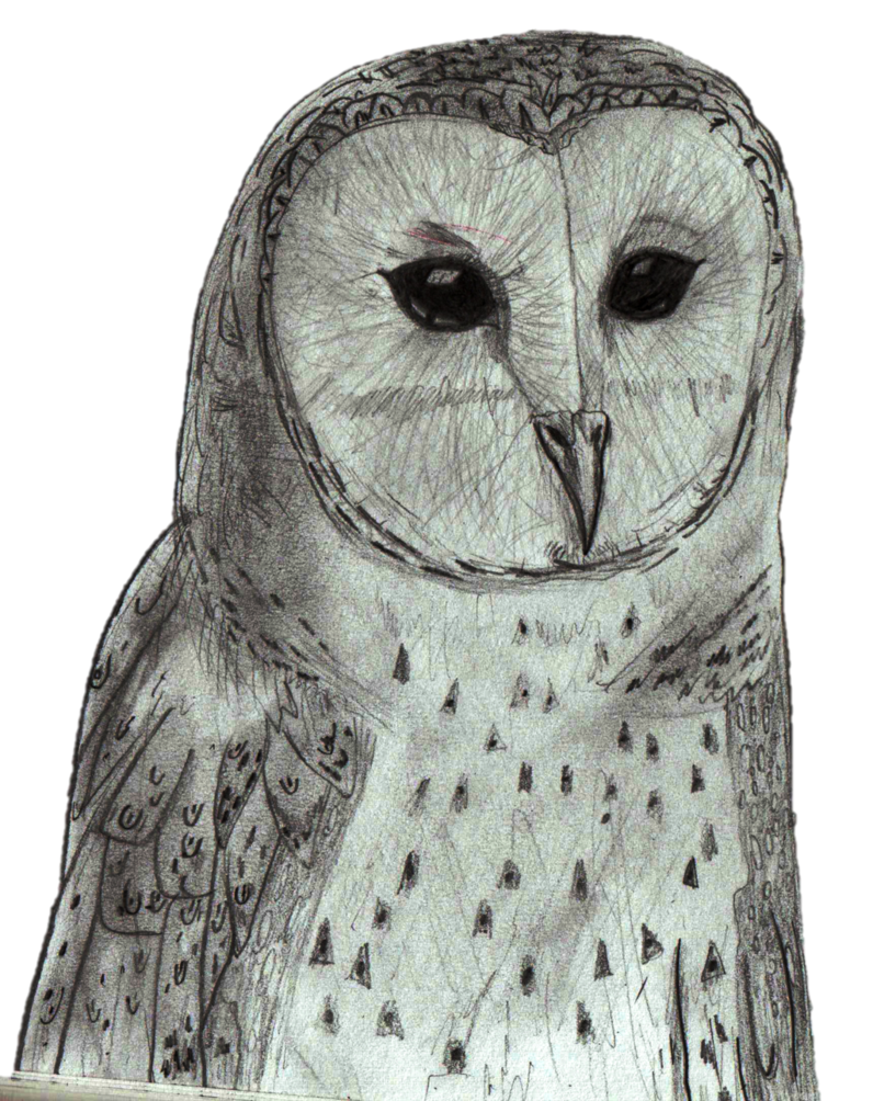 Australian drawing pencil. Masked owl sketch by