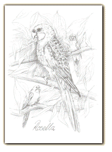 Australian drawing wild life. Souvenir wildlife illustration colouring