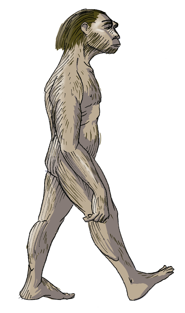 Australopithecus drawing. Blink activity blinklearning homo