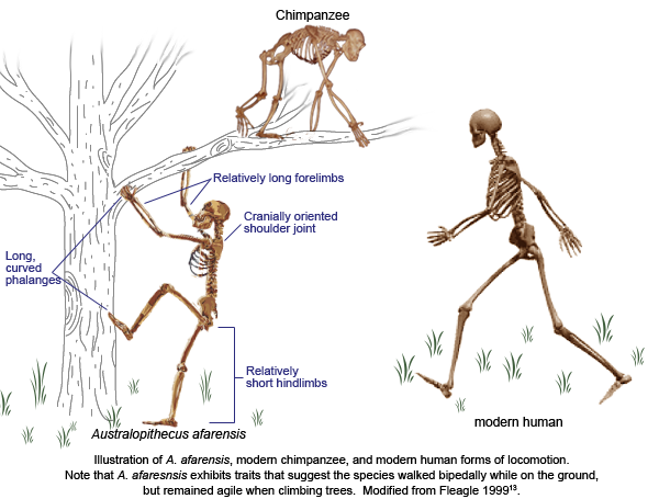 Australopithecus drawing robust. Conclusions efossils resources may