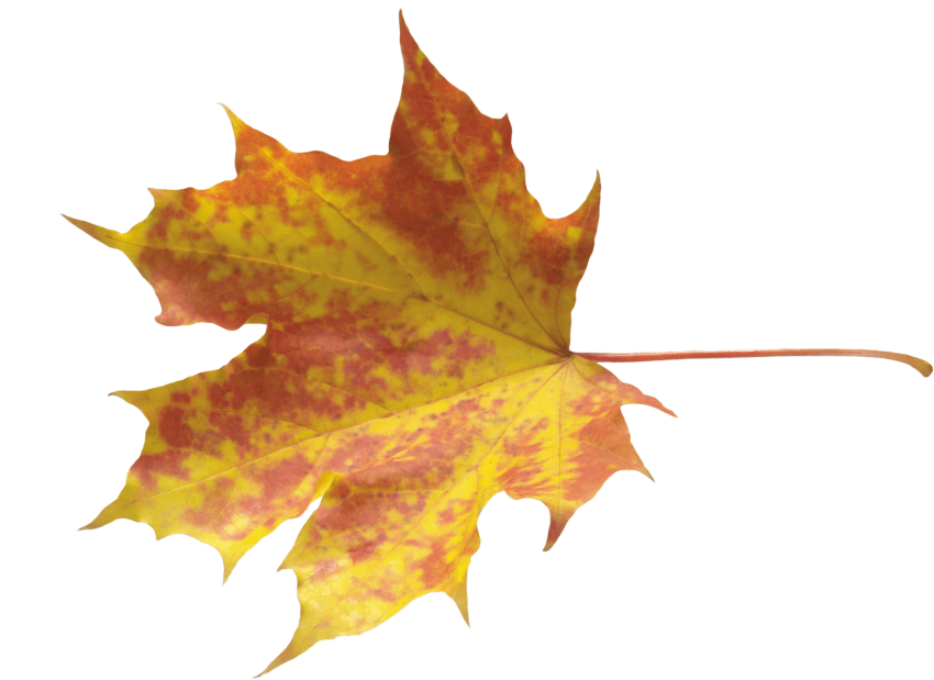 Transparent photography leaf. Download autumn leaves clipart