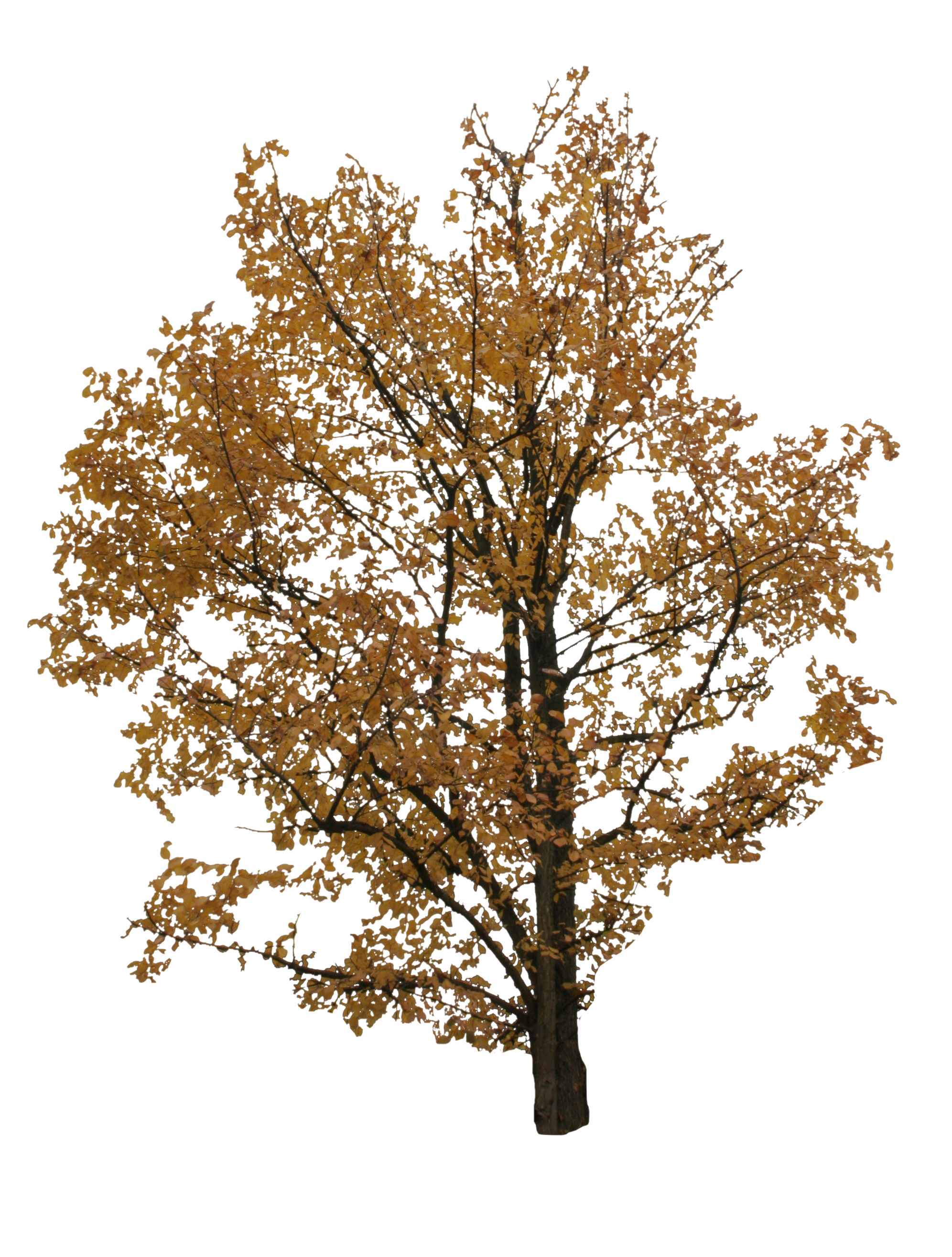 Autumn tree png. Free cut out people