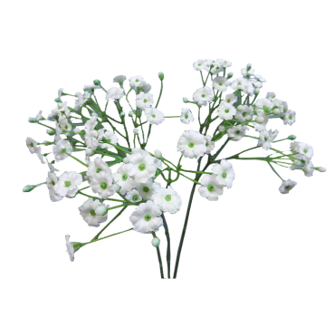 Baby breath flower png. Image