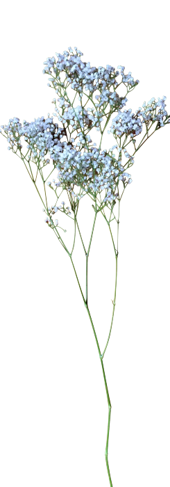 Baby breath flower png. S stories