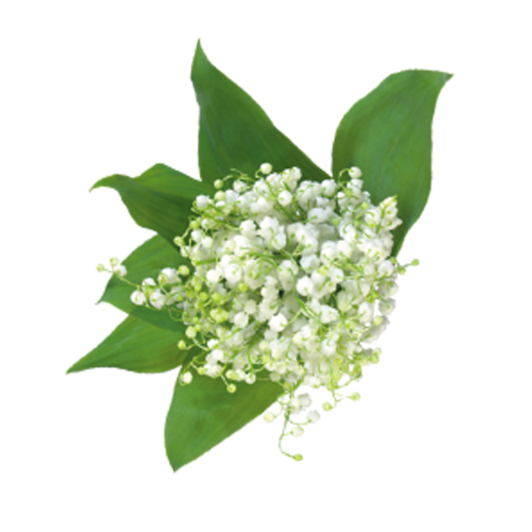Baby breath flower png. Gypsophila paniculata bouquet floral
