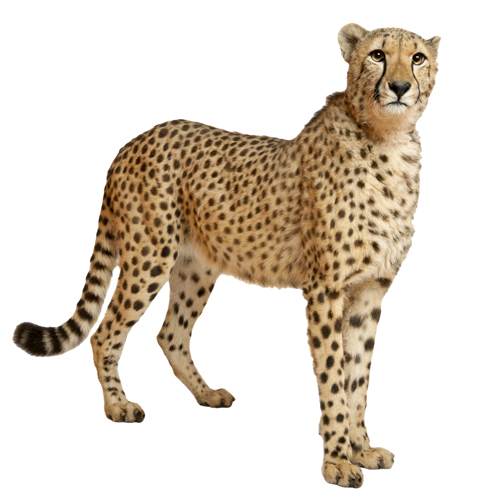 Transparent images all file. Cheetah png clipart free stock