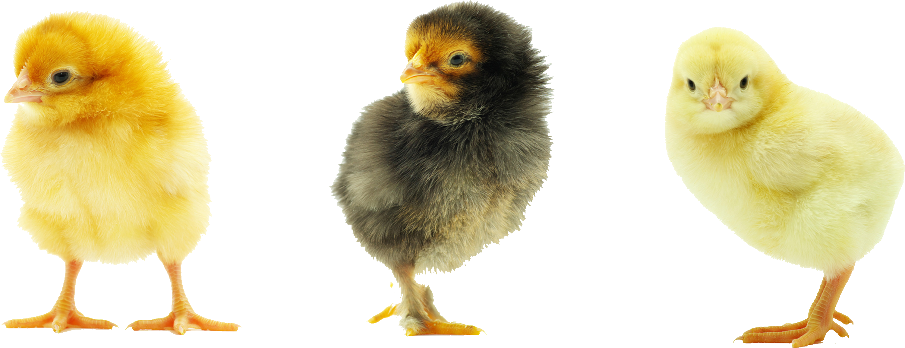 Baby chick png. Images transparent free download