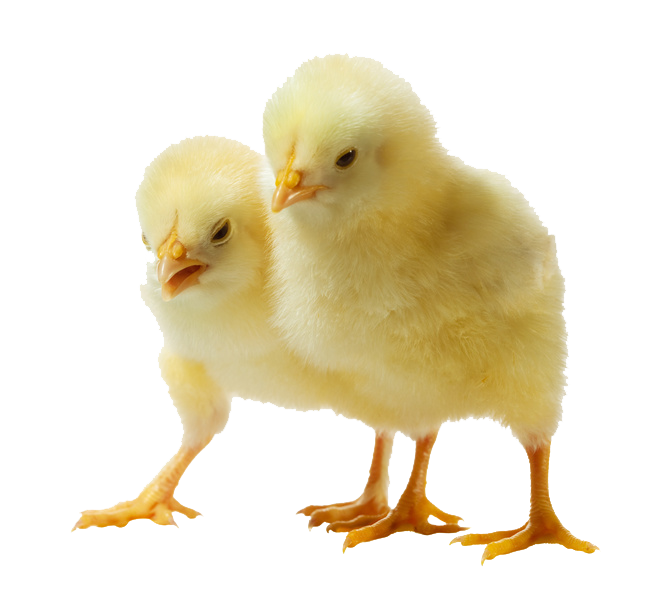 Baby chick png. Chicken transparent pictures free
