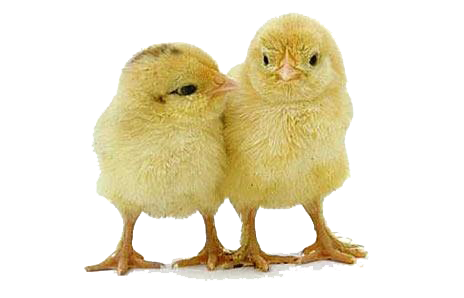 Baby chick png. Transparent images pluspng chicken