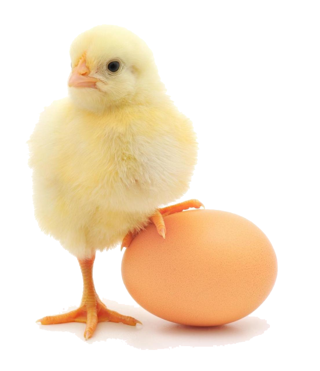 Baby chicken png. Free download arts
