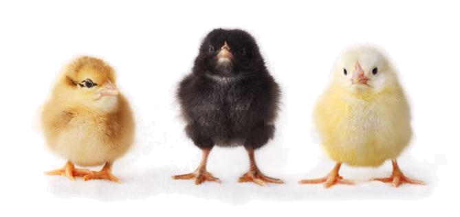 Baby chicken png. How to socialize chickens