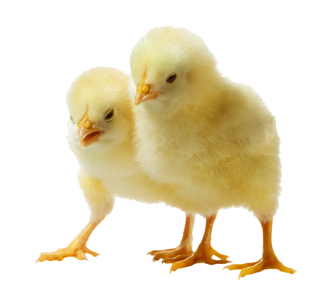 Baby chicken png. Photo arts