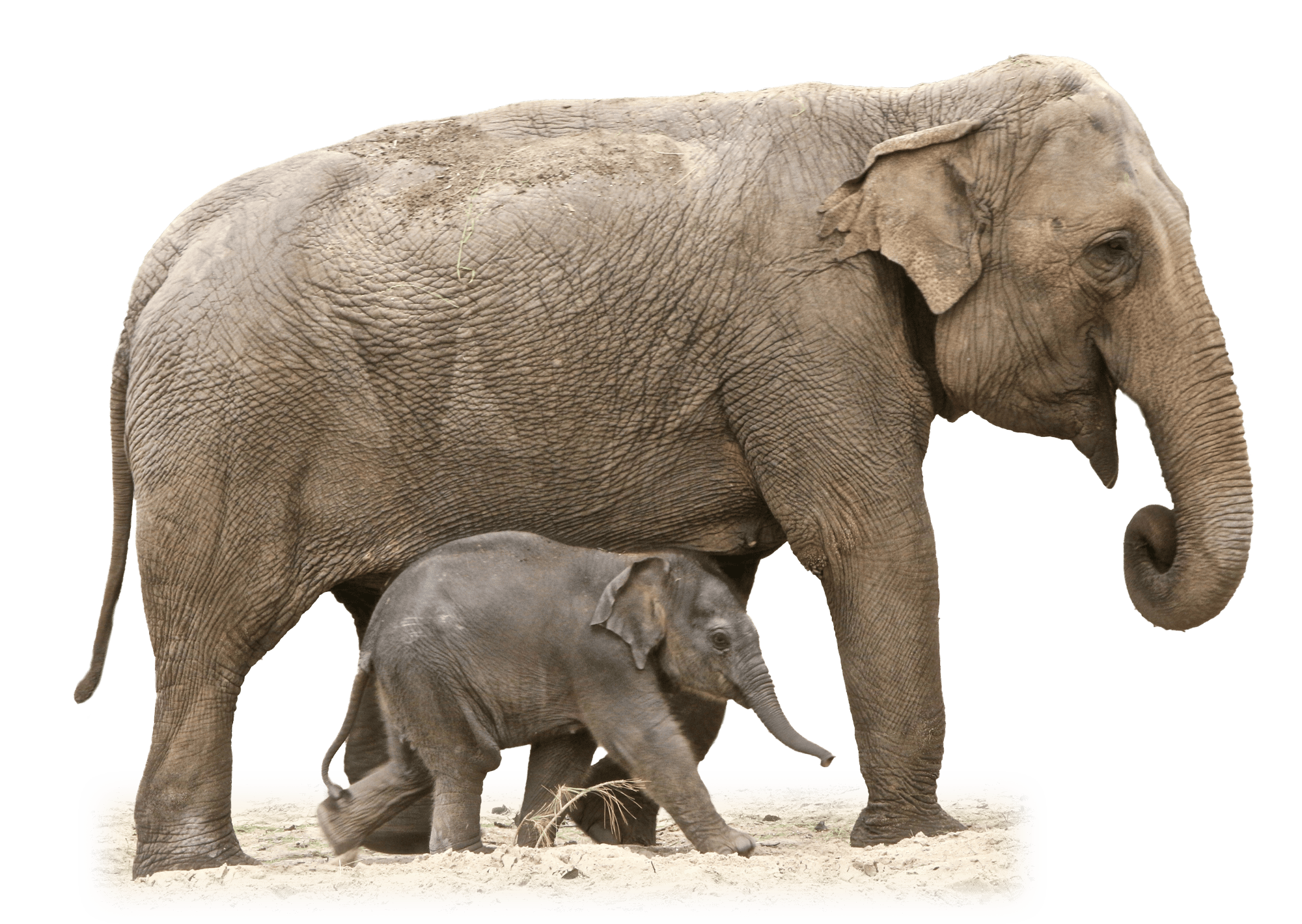 Baby elephant png. Mother and transparent stickpng