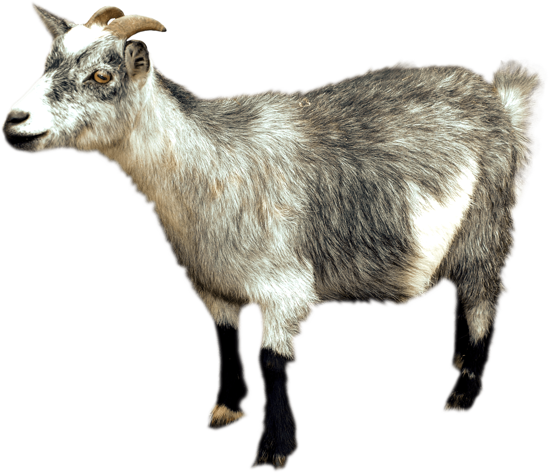 Baby goat png. Sideview transparent stickpng animals